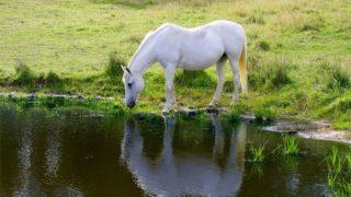 馬が水を飲んでいる